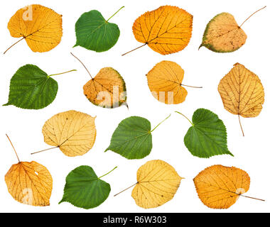 set of various leaves of linden trees isolated - Stock Photo