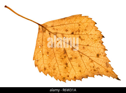 back side of fallen holey yellow leaf of birch - Stock Photo