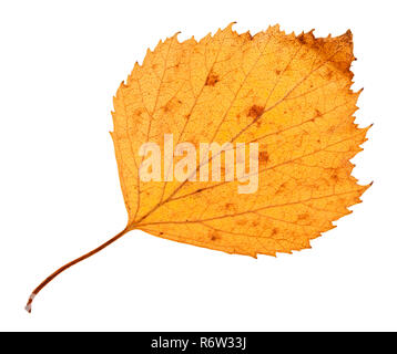 back side of yellow dried leaf of hawthorn tree - Stock Photo