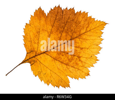 yellow autumn leaf of hawthorn tree isolated - Stock Photo