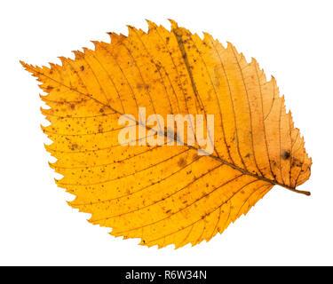 back side of yellow fallen leaf of elm tree - Stock Photo