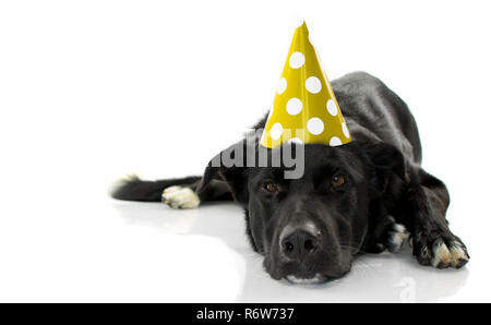 BLACK DOG CELEBRATING A BIRTHDAY PARTY. BORED PUPPY LYING DOWN WEARING A GREEN OR YELLOW POLKA DOT HAT. ISOLATED AGAINST WHITE BACKGROUND. - Stock Photo