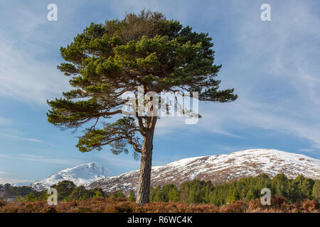 Solitary native Scots pine (Pinus sylvestris) in Glen Affric in winter, Inverness-shire, Scottish Highlands, Highland, Scotland, UK - Stock Photo