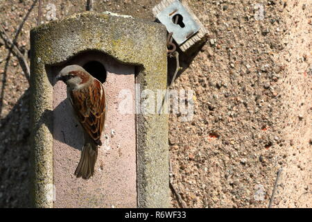 sparrow on a nesting hole at the courtship - Stock Photo