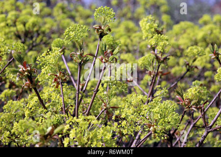 flowers and young leaves in norway maple acer platanoides - Stock Photo