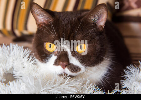 British cat chocolate color is playing with the Christmas garland - Stock Photo