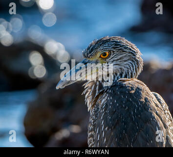 An Immature  Yellow-Crowned Night-Heron (Nyctanassa violacea) Rests on the Rocky Shore of the Ocean at Punta Mita, Nayarit, Mexico - Stock Photo