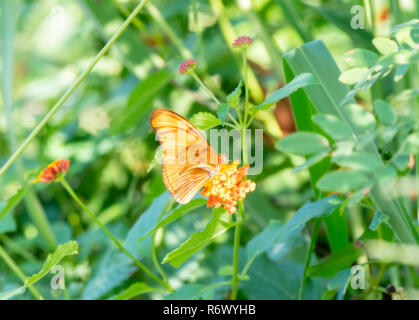 A Julia Heliconian (Dryas iulia) Butterfly Perching in Dense Vegetation in Tropical Punta de Mita, Nayarit, Mexico - Stock Photo