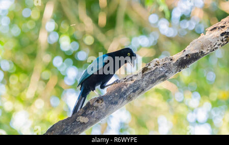 An Iridescent Bright Blue San Blas Jay (Cyanocorax sanblasianus) with a Yellow Eye in Trees in Punta de Mita, Nayarit, Mexico - Stock Photo