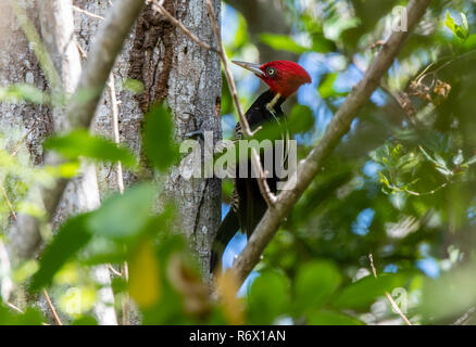 A Bright Red Crested Male Pale-billed Woodpecker (Campephilus guatemalensis) Foraging for Food on a Tree in Punta de Mita, Nayarit, Mexico - Stock Photo