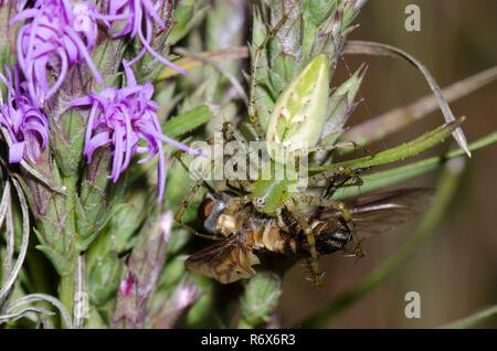 Green Lynx Spider, Peucetia viridans, female feeding on captured bee fly, Family Bombyliidae, on blazing star, Liatris sp. - Stock Photo