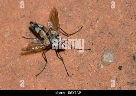 Tachinid Fly, Zelia sp., male - Stock Photo