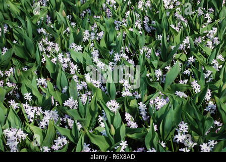 Chionodoxa forbesii Pink Giant flowering with tulip leaves in the park. Springtime in Netherlands. - Stock Photo