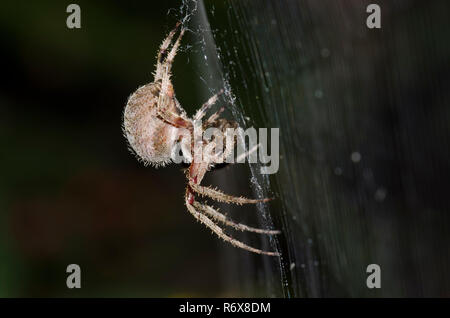 Spotted Orbweaver, Neoscona sp., with prey - Stock Photo