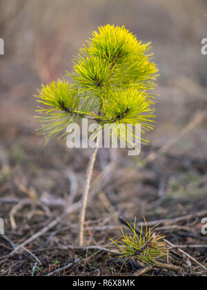 Very small pine tree in the forest - Stock Photo