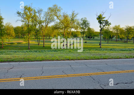 Pecan trees and cattle near Route 66, DePew, Oklahoma, USA - Stock Photo