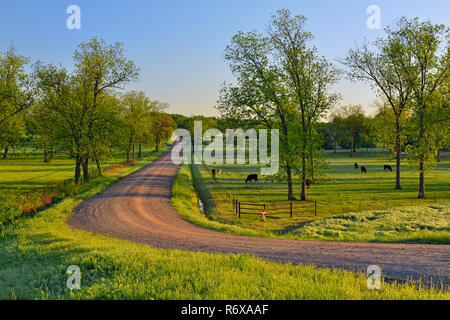 Pecan trees cattle near Route 66 and S 449 Ave dirt road, DePew, Oklahoma, USA - Stock Photo