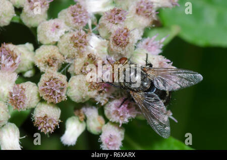 Tachinid Fly, Family Tachinidae, on Saltmarsh Fleabane, Pluchea odorata - Stock Photo