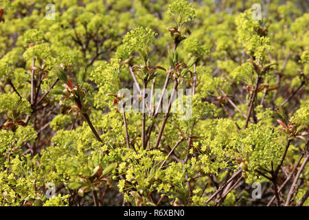inflorescences and young leaves in norway maple acer platanoides - Stock Photo