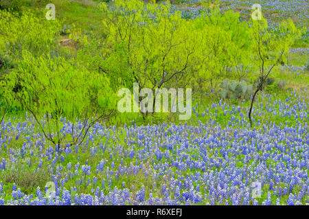 Spring foliage on mesquite trees with flowering bluebonnets, Llano County, Texas, USA - Stock Photo