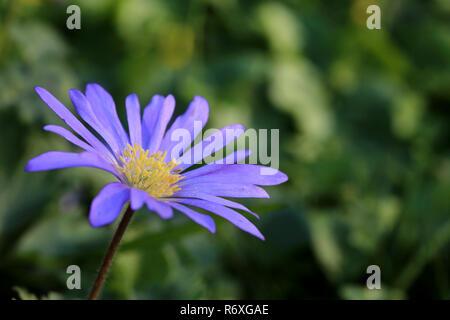 blue-violet blooming balkan windflower anemone blanda - Stock Photo