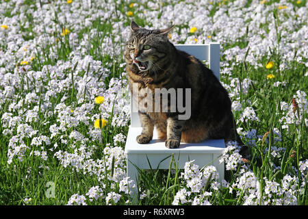 a small fat cat sits with funny expression on a chair in the flower meadow - Stock Photo