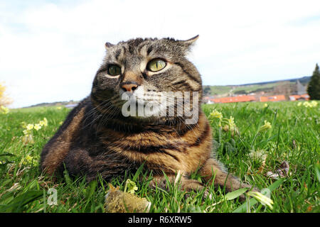 a small fat cat lies with a funny look in the grass - Stock Photo