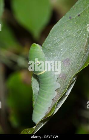 Eastern Tiger Swallowtail, Papilio glaucus, caterpillar on green ash, Fraxinus pennsylvanica - Stock Photo