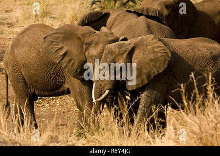 group of african bush elephants in a dry savannah, Kruger, South Africa - Stock Photo