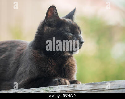 A dark brown cat sits on a wooden board in the sunlight - Stock Photo