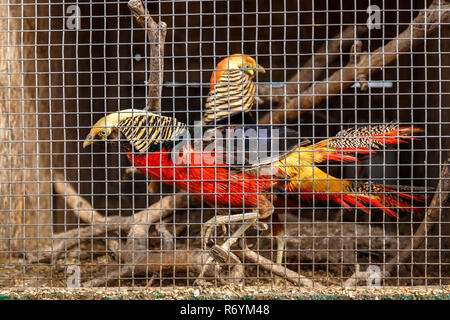 Pheasant in a cage - Stock Photo