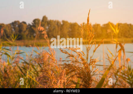 Reeds near a river in sunlight at sunset. - Stock Photo