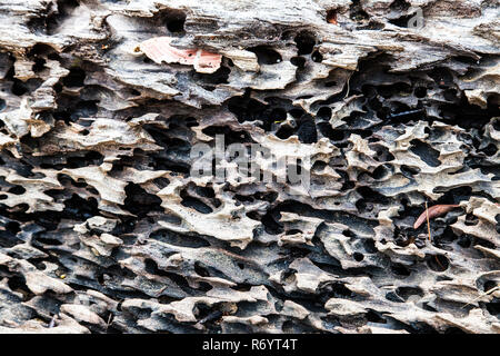 Bark of a tree is eaten by bark beetles - Stock Photo