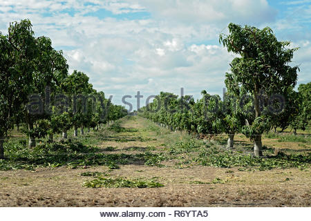 Rows of mango trees on a plantation that have lost their leaves in stormy weather - Stock Photo