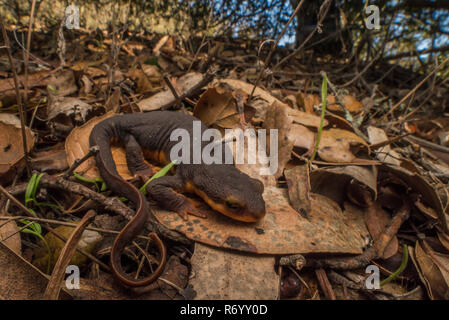 The California newt endemic to the west coast is known for producing a potent neurotoxin, tetrodotoxin. This helps protect it from predators.