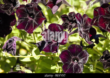 Black velvet petunia called Petunia x hybrid - Stock Photo