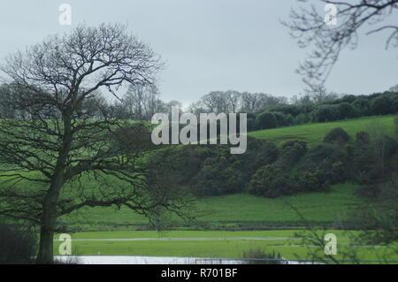 Leafless Winter Skeleton of an Oak Tree by Lush Green Rolling Hills with Woodland. Devon Farming Landscape, Powderham, Exeter, UK. - Stock Photo