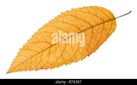 back side of fallen yellow leaf of ash tree - Stock Photo