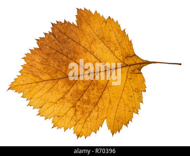 back side of yellow autumn leaf of hawthorn tree - Stock Photo