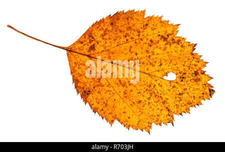 holey dried leaf of hawthorn tree isolated - Stock Photo