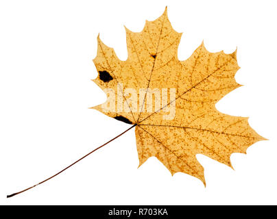 back side of fallen yellow leaf of acer tree - Stock Photo