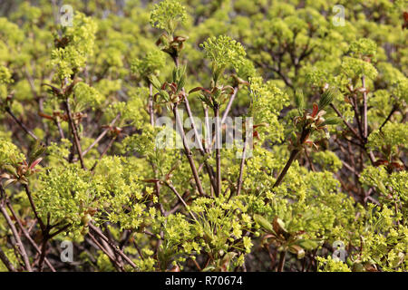 young leaves and flowers in norway maple acer platanoides - Stock Photo