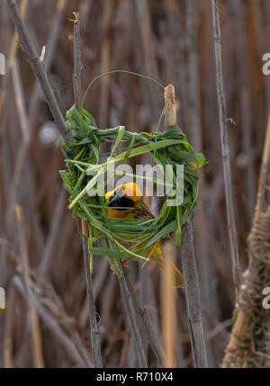 Male Southern masked weaver, Ploceus velatus building nest in reed-bed, Western Cape, South Africa. - Stock Photo