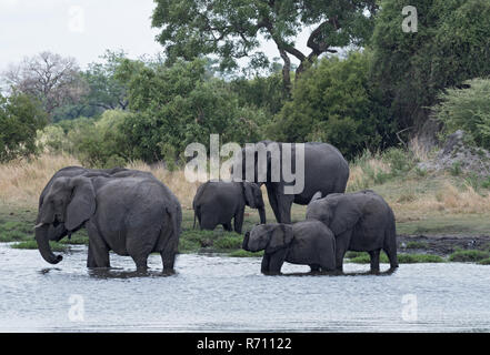 Elephant group taking bath and drinking at a waterhole in Chobe National Park, Botswana - Stock Photo
