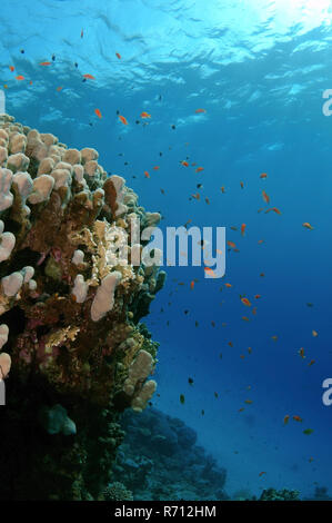 Sea Goldies, also Lyretail Anthias (Pseudanthias squamipinnis), Red Sea, Egypt - Stock Photo