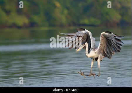 White-necked Heron or Cocoi Heron (Ardea cocoi) fishing, Pantanal, Mato Grosso, Brazil - Stock Photo