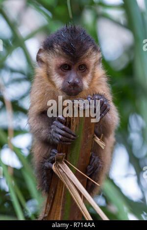 Tufted Capuchin, Black-capped Capuchin or Brown Capuchin (Cebus apella), Mato Grosso do Sul, Brazil - Stock Photo