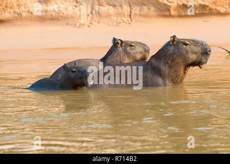 Capybaras (Hydrochaeris hydrochaeris) in the water, Pantanal, Mato Grosso, Brazil - Stock Photo