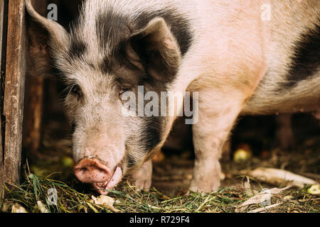 Household A Large White Pig In Farm Livestock Yard. Pig Farming. - Stock Photo