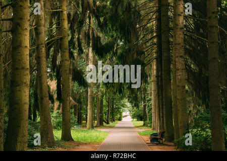 Walkway Lane Path Through Green Picea Abies, Norway Spruce Coniferous Trees In Forest. Beautiful Alley, Road In Park. Pathway, Natural Tunnel, Way Thr - Stock Photo
